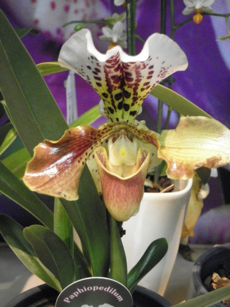 25 ide terbaik frauenschuh orchidee di pinterest. Black Bedroom Furniture Sets. Home Design Ideas
