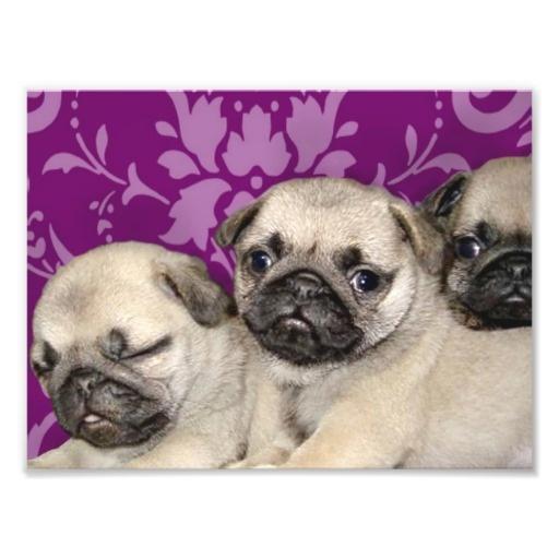 Pug puppies dog photo art