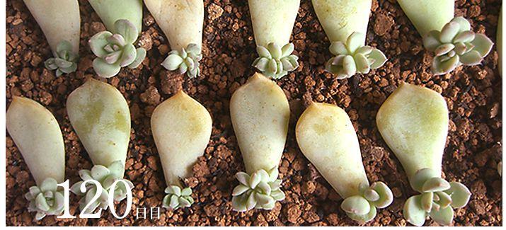 葉挿し    多肉植物/サボテン専門ストア solxsol - 今回の特集は多肉植物の魅力のひとつ『葉挿し』です!お持ちの多肉植物を殖やしてみましょう!
