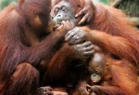 MBA Bali Tour - Package Borneo Orangutan Tour
