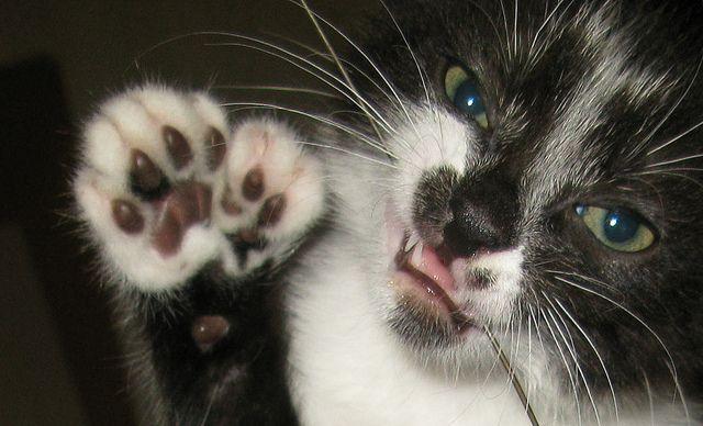 Polydactyl Kitten's Paw