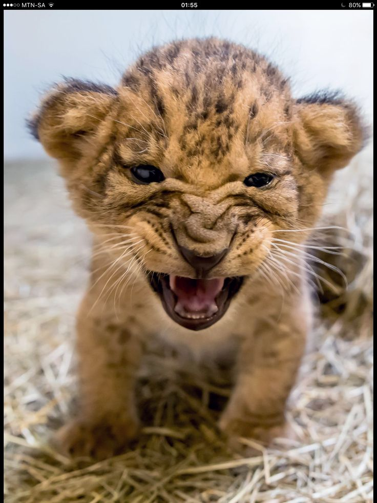 I Love The Fierce Face On This Baby Lion Cub Babies Of