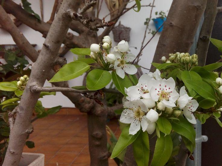 Almazara Alcubilla. El peral se adelantó pero los olivos también anuncian ya su floración.