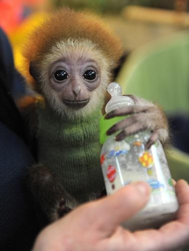Love, love. - 3-month old gibbon