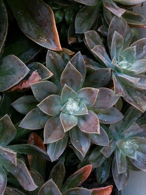 water captured in succulent leaves