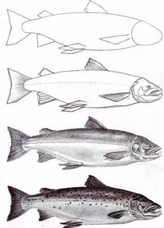 How to draw a salmon