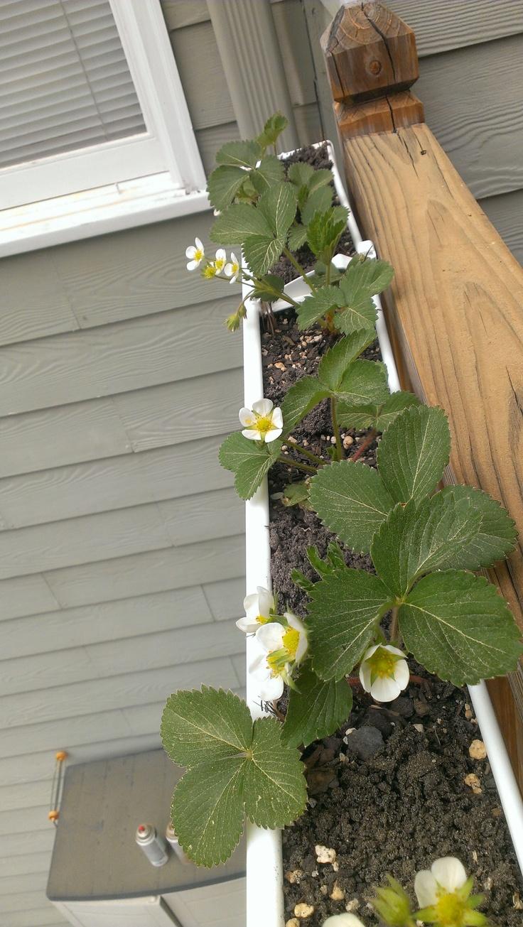 Growing strawberries in gutters diy idea - Strawberry Gutters