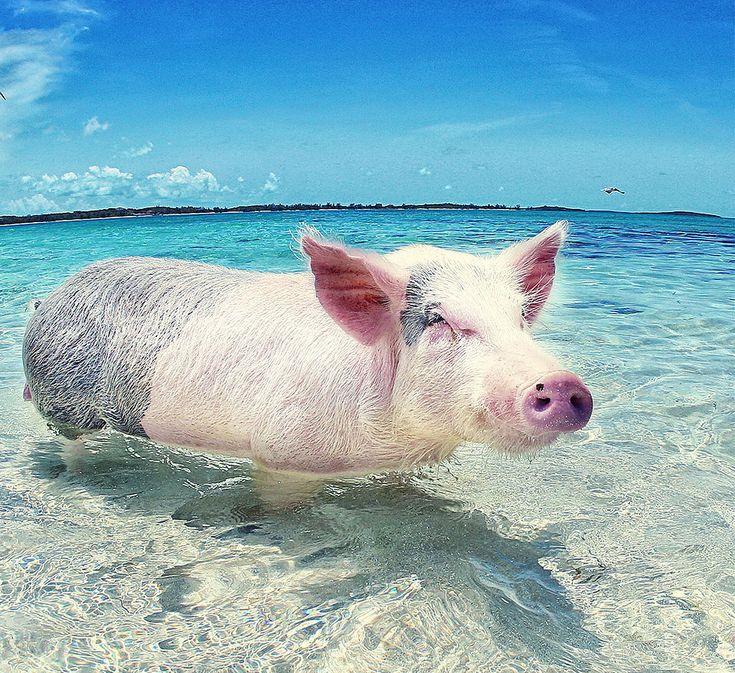 Nassau Bahamas, Swim with Pigs Nassau