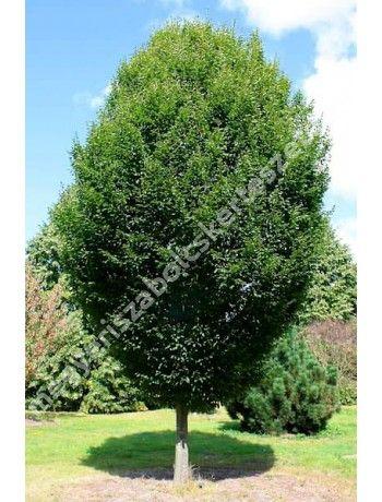 Carpinus betulus 'Fastigiata' - Oszlopos növekedésű gyertyán