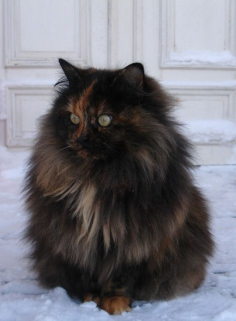 Long haired Tortie.                                                       …                                                                                                                                                                                 Plus