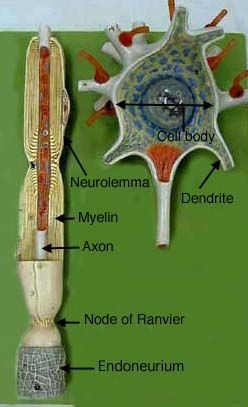 neuron model - Google Search