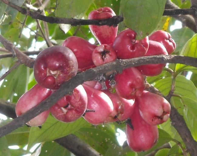 Rose Apple (Jambu Mawar Merah) tree