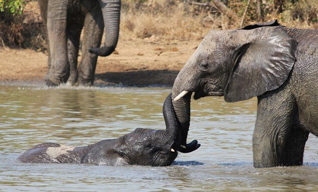 In the swim - elephants just love the water