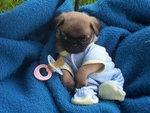 http://europug.eu/  EEEEP!!!!!!   baby pug!! ♥♥♥