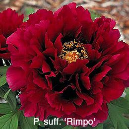 Rimpo: (Japan) aka: 'Bird of Rimpo' Large double ruby red with substantial glossy petals. Very dramatic.