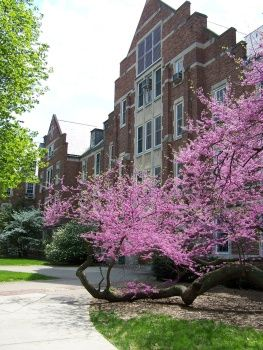 Michigan State University's GIltner Hall's most impressive Japanese Red Bud tree. Where the trunk looks like it grows in and out of the ground. So beautiful in the spring. It is my favorite tree on campus.