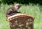 """Filhote de leopardo javanês senta-se numa cesta durante apresentação para a imprensa no zoológico de Tierpark, em Berlim, na Alemanha. O animal macho nasceu em 16 de abril e foi apelidado de """"Timang"""" J"""