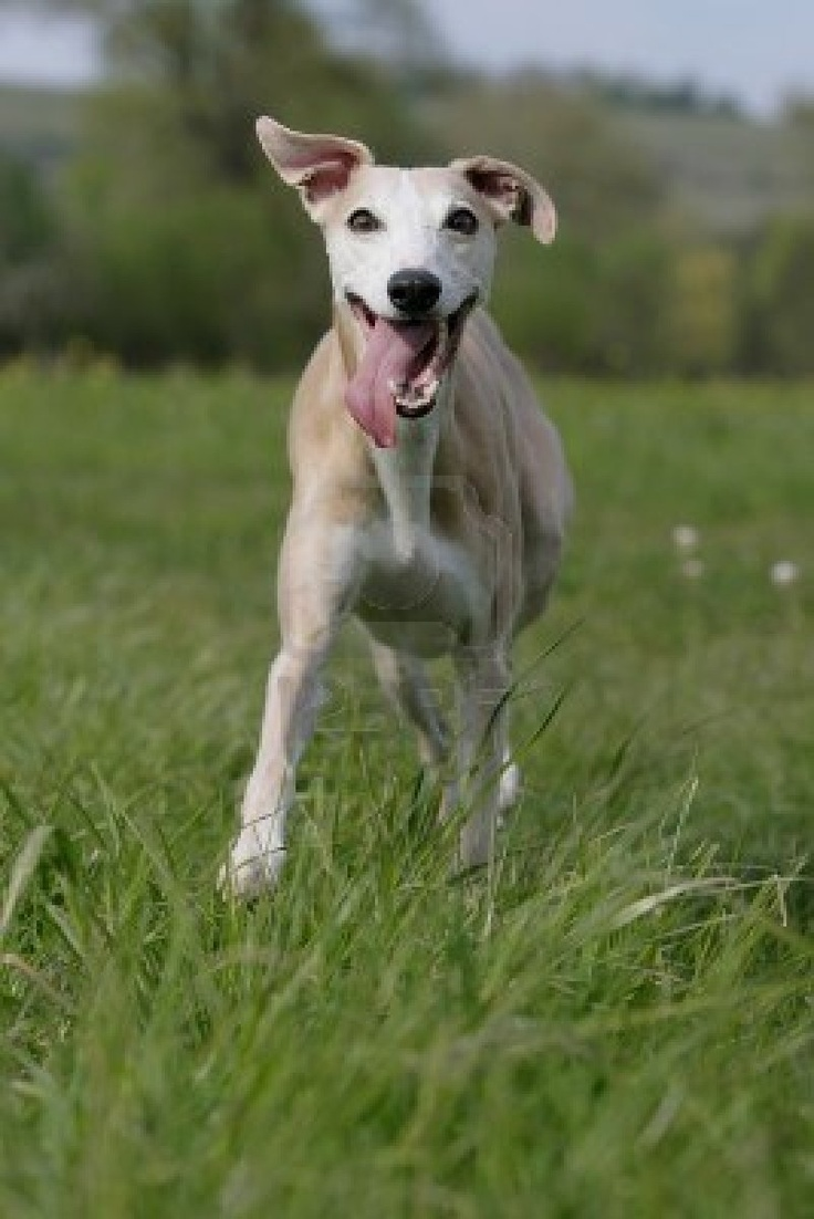 86 best wonderful whippets images on pinterest italian greyhound such a happy chappy geenschuldenfo Choice Image
