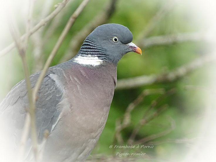 Pigeon ramier ou Palombe - 2016 - Framboise à Pornic