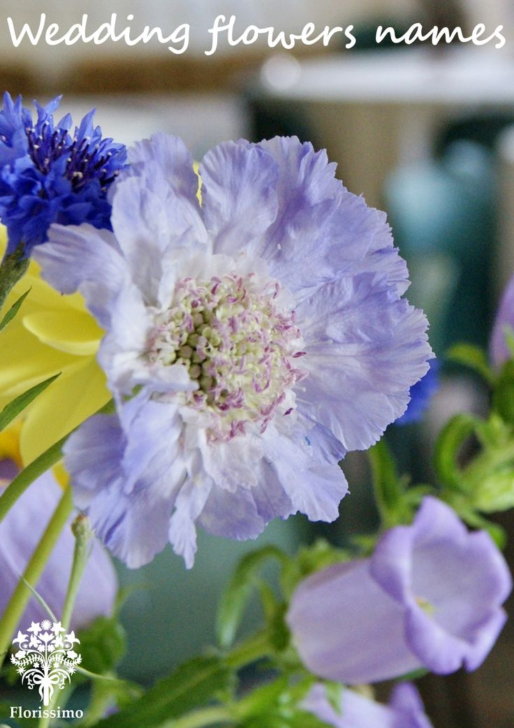 Scabious | Florissimo - Shropshire | Find flower names in the Wedding Flowers Directory at https://uk.pinterest.com/ByFlorissimo/flowers-directory/. avail Jun-Oct, in white, pale purple and deep red