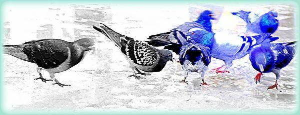 Pigeon Blues