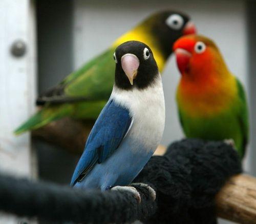 birds ....love birds, from Africa. | Birds | Birds, Exotic ...