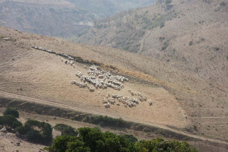 Un gregge di pecore sulle pendici dell'Altipiano della Giara, in Sardegna - Medio Campidano