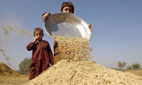 Afghan boys work on a wheat field in Nangarhar province. Photograph: Parwiz/REUTERS