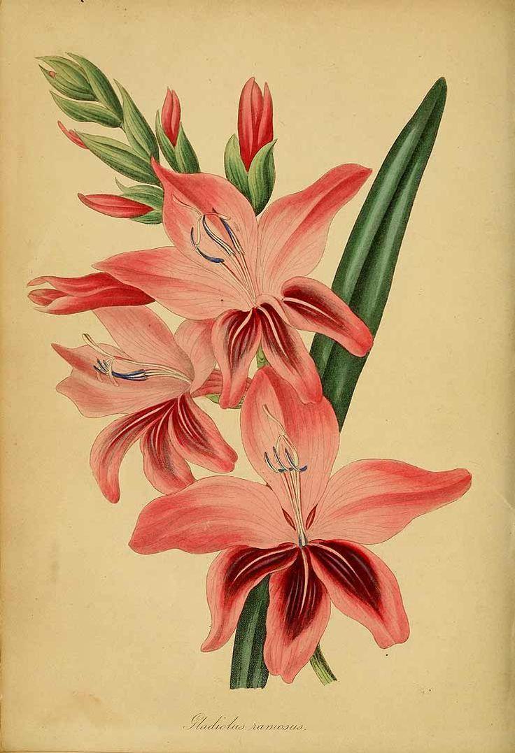 45 best august birth flower gladiolus images on pinterest august birth flower tattoo flowers. Black Bedroom Furniture Sets. Home Design Ideas