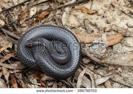 Australian red bellied black snake