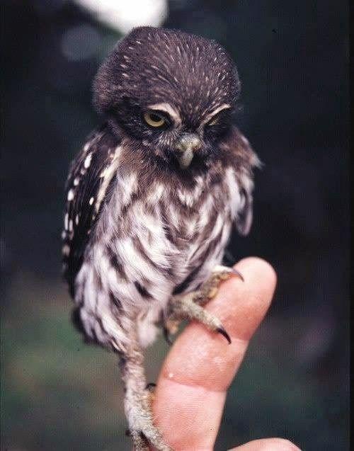 Beautiful tiny #Owl