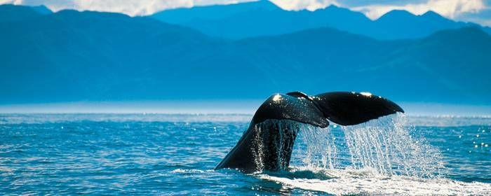 Baleine - Nouvelle-Zélande