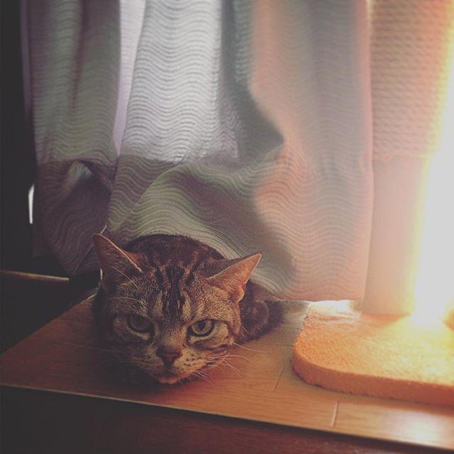 「おーい」 出てこない… 「あとむー?」 出てこない 「おーい」 出てこない… 「ゴハンだぞー」 出てきた(笑)  #gw#実家#にて #アトム#6さい#愛猫 #アメリカンショートヘアー #と #遊ぶ#😍#🐈 #ねこ#好きなのに #猫アレルギー