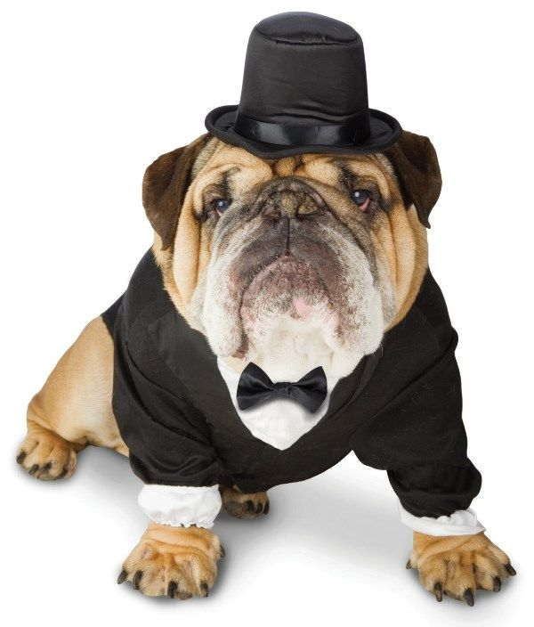 Find This Pin And More On Bulldog Tuxedos