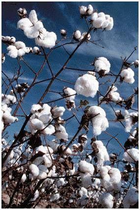 Los beneficios del algodón: ¿Sabías que el algodón es la fibra celulósica más pura? http://www.ros1.com/es/noticia/2014-04-08-los-beneficios-del-algodn