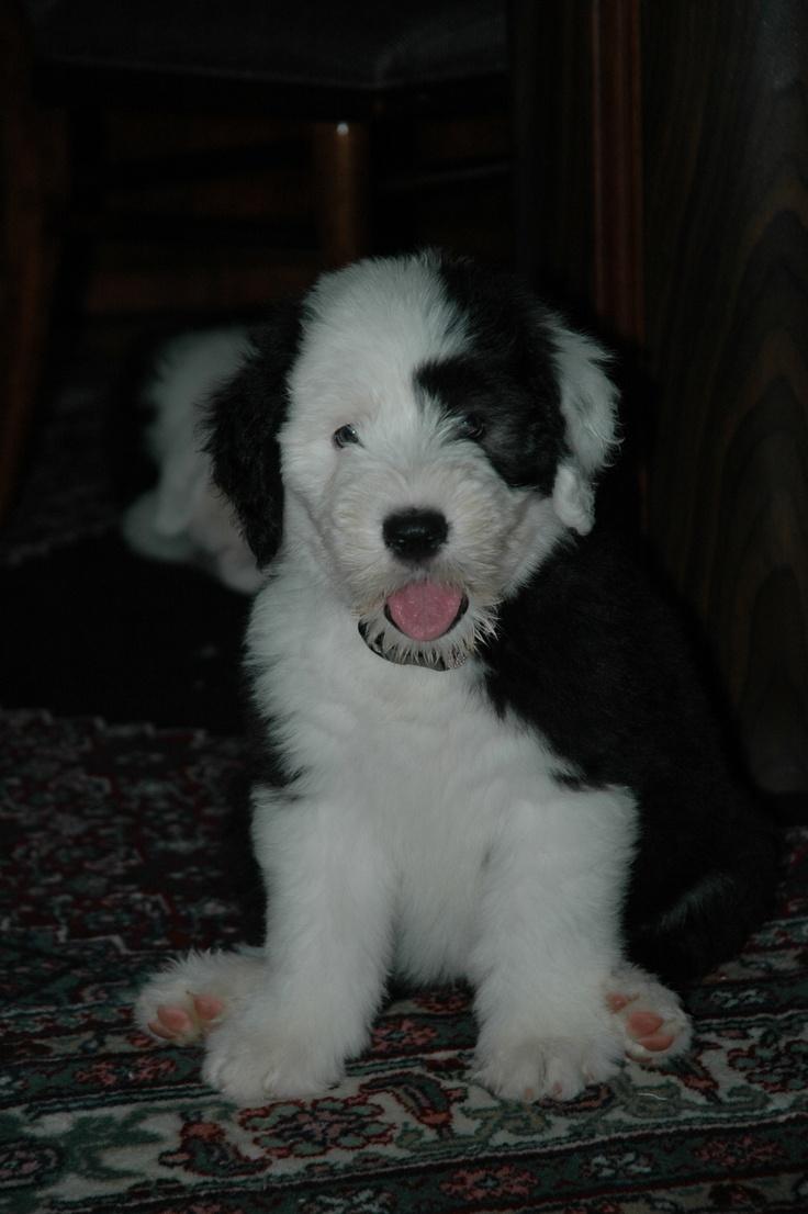 53 Best Images About Sheepadoodle On Pinterest