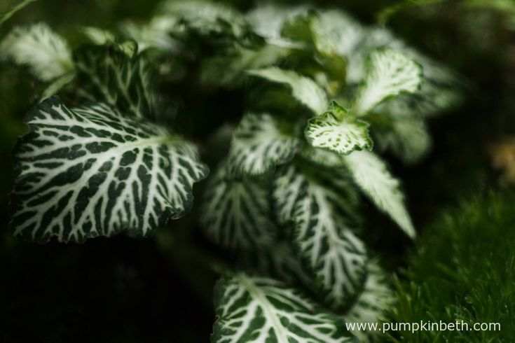 A close up of the Fittonia inside my BiOrbAir terrarium as pictured on the 1st January 2016.