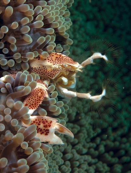 1000+ images about Crab on Pinterest | Christmas island, Crab legs and Crabs