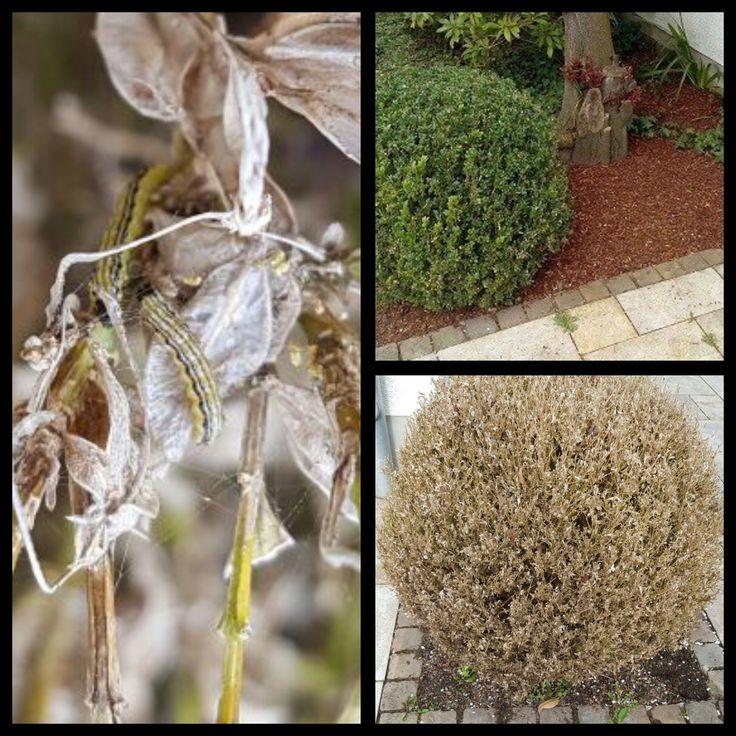 Was eine große Familie winziger Raupen aus einem schönen Buchsbaum im Nu machen können.... Regelmäßig die Pflanzen beobachten und richtig pflegen hilft Ihnen den schönen gesunden Look im Garten beizubehalten. Schädlinge im Garten zu bekämpfen ist kein Mission Impossible, wenn nur gewusst wie:-) #schädling #schädlingsbekämpfung #natürlicheschädlingsbekämpfung #gartenpflege #pflanzenpflege #gärtnern #koeln #gruenerdaumen