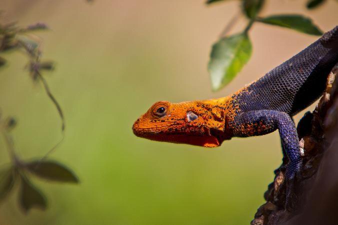 Los lagartos de arco iris masculinos con los colores más brillantes tienen las mejores habilidades de lucha. FOTOGRAFÍA DE CORY RICHARDS, CREATIVA GEOGRÁFICA NACIONAL