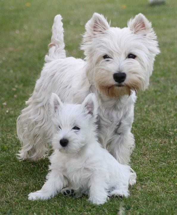 MUM AND BABY WESTIES | Westies | Pinterest | Puppys, Ps ...