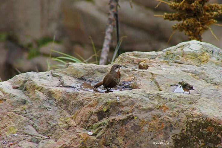 Turca Cajón del Maipo, sector de Las Melosas Región Metropolitana, Chile #birdwatching