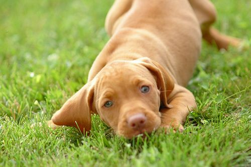 Best 20+ Vizsla puppie...