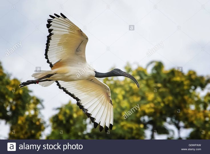 Download this stock image: Sacred ibis - G0WPAW from Alamy's library of millions of high resolution stock photos, illustrations and vectors.