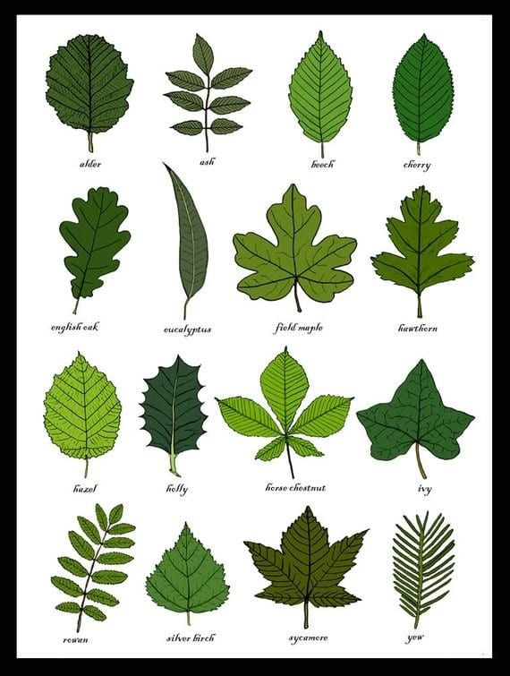 Learn How To Identify Trees And Leaves Enchanted Little World Tree Leaf Identification Leaf Identification Chart Leaf Identification