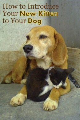 With a little patience you can teach almost any dog to get along with your kitten.