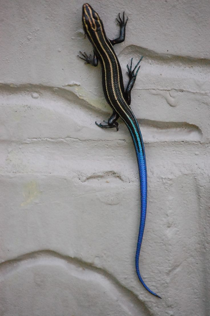 Female Five Lined Skink- My dog Harry loves to chase them on my front deck. - David