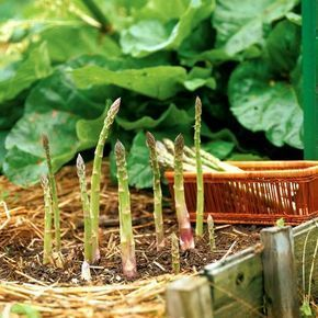 How to Grow Asparagus,one of the tastiest, easiest vegetables you can grow. A little work up front pays off with years of good eating. Find out how to plant and manage this quintessential spring crop. #howtogrowagarden