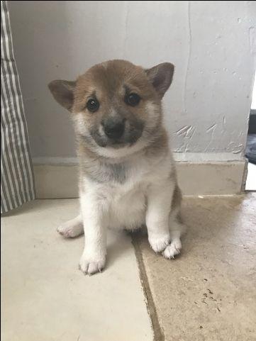 Litter of 4 Shiba Inu puppies for sale in MIAMI, FL. ADN-34488 on PuppyFinder.com Gender: Female. Age: 4 Weeks Old