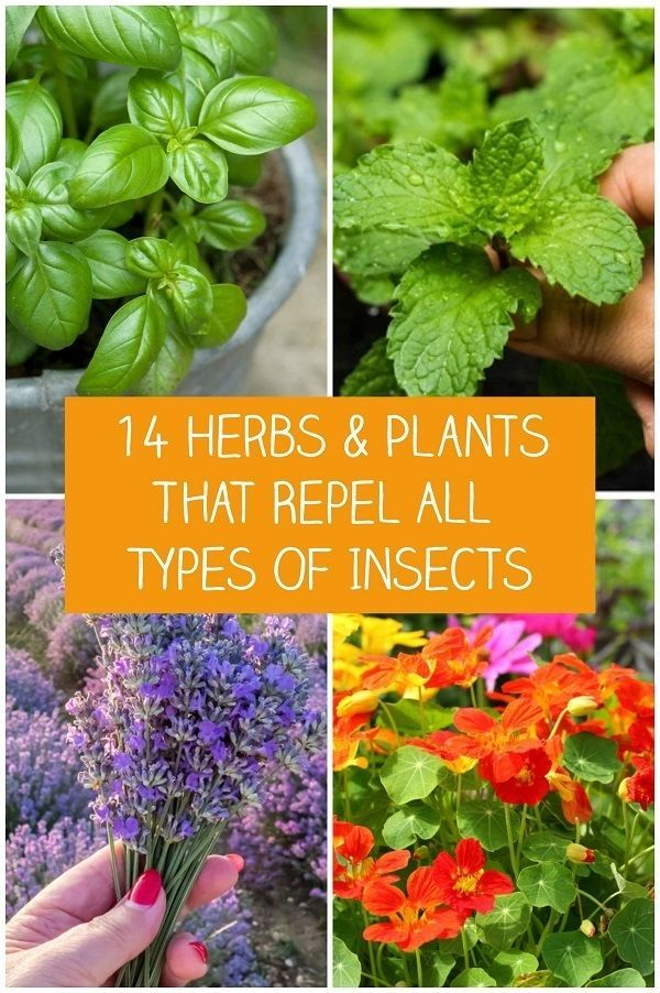 14 Herbs Plants That Repel All Types Of Insects Planting Herbs Insect Repellent Plants Natural Insect Repellant
